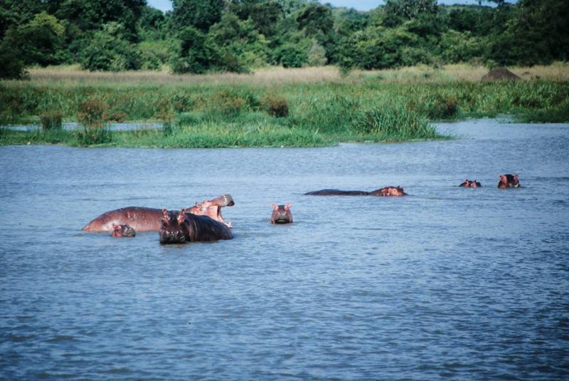 Nielpferde im Wasser