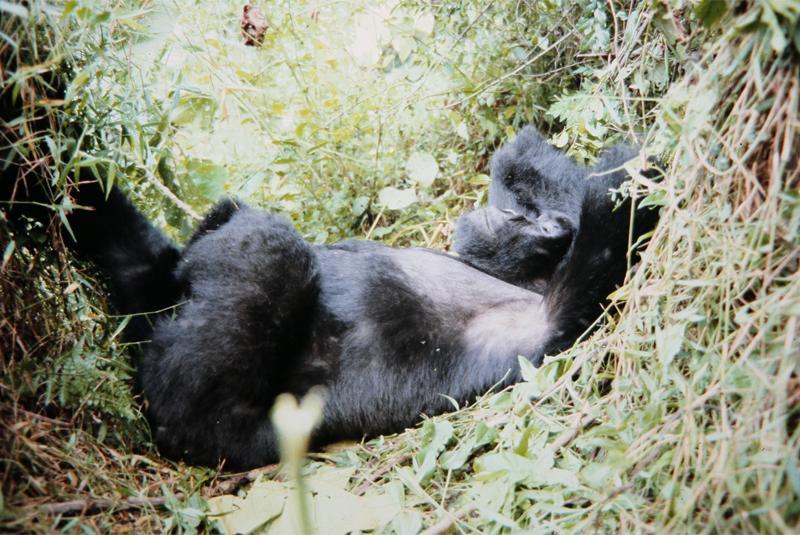 Silberrücken-Gorilla